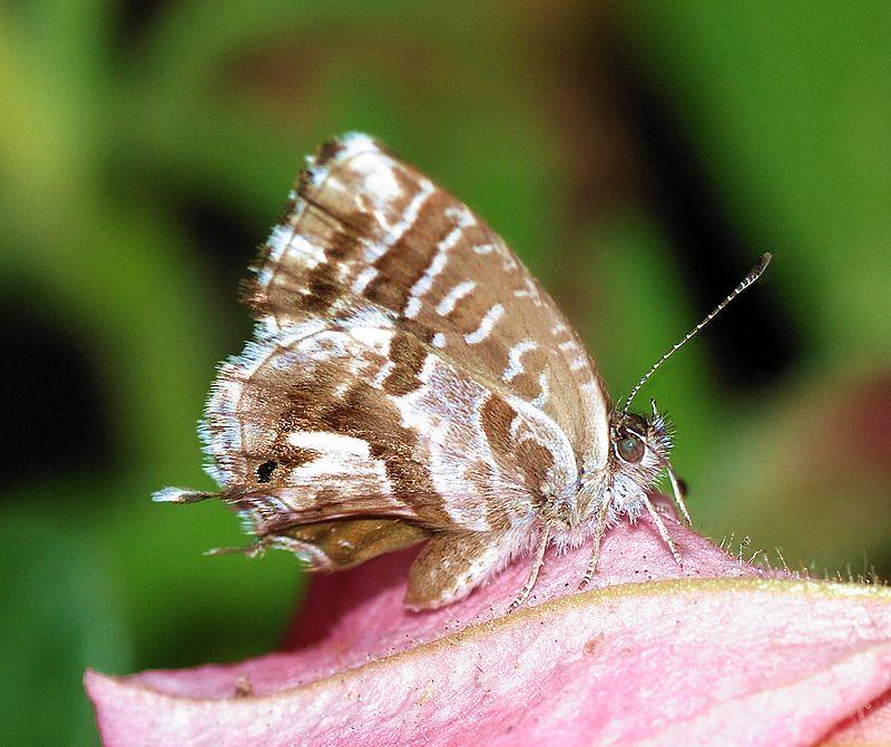 ¿Qué es la mariposa del geranio?