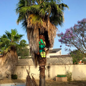 poda de palmeras en Sevilla